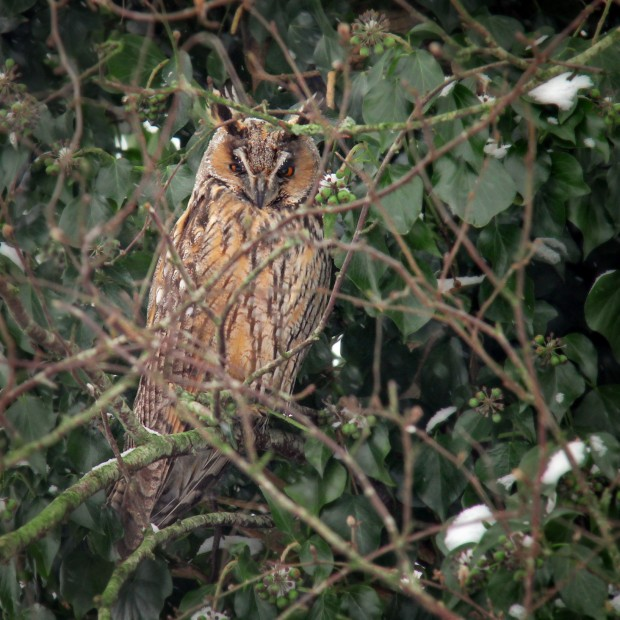 Ransuil - long-eared owl